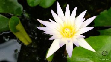 Lotus (White Pink)