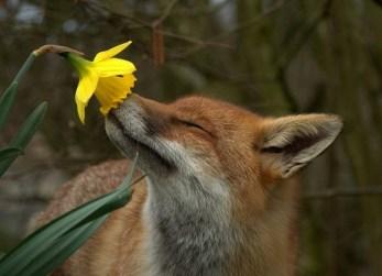 fox-smelling-flower - Copy