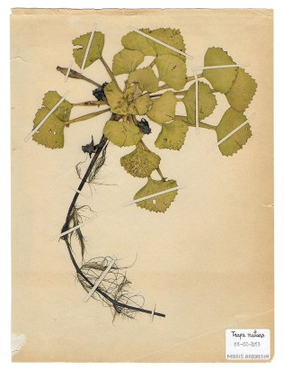 The Extinct Flora in Spain (Sketches) 01. Trapa natans 源自西班牙的絕跡花草 (手稿) 01. Trapa natans, 2019, Drawings on paper 繪畫、紙本, Courtesy of 双方藝廊 Double Square Gallery