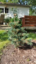 A new evergreen for me, Pinus parviflora 'brevifolia'
