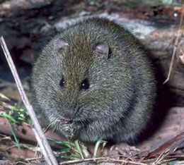 Broad Toothed Rat
