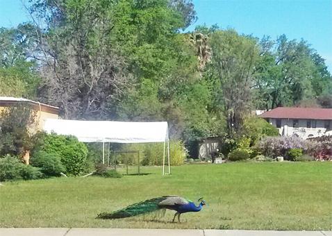 TalmagePeacock