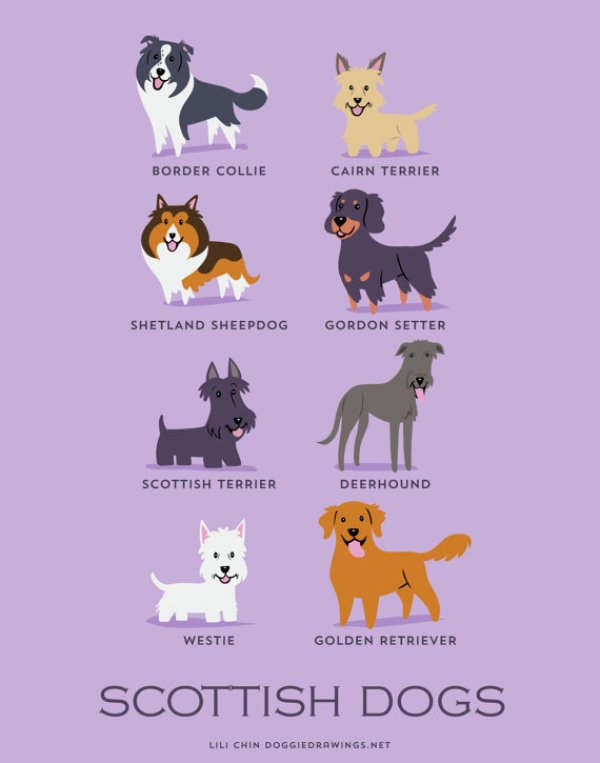 information about dogs - scottish  dogs
