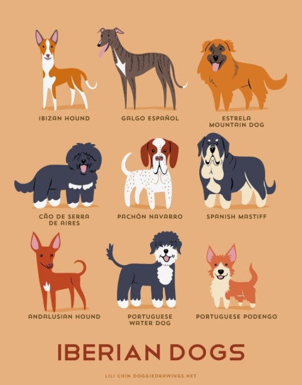 information about dogs - iberian  dogs