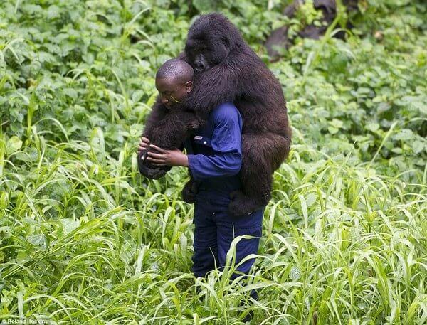 Gorillas and their caretakers 5