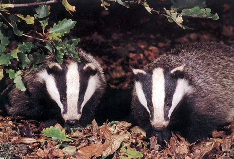 Badgers: endearing, yet still couldn't compensate at twice the price for just another nite with the boys