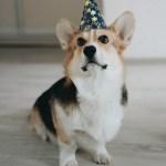 20 вещей, которые делают корги Чипса счастливым