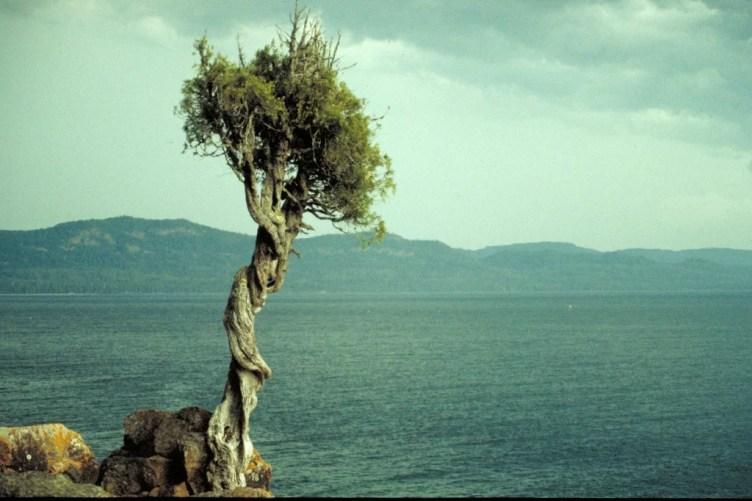 Cedar tree at ocean