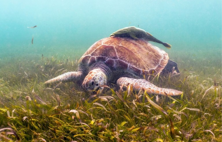 Sea Turtle grazing on sea grass The Backpacking Housewife