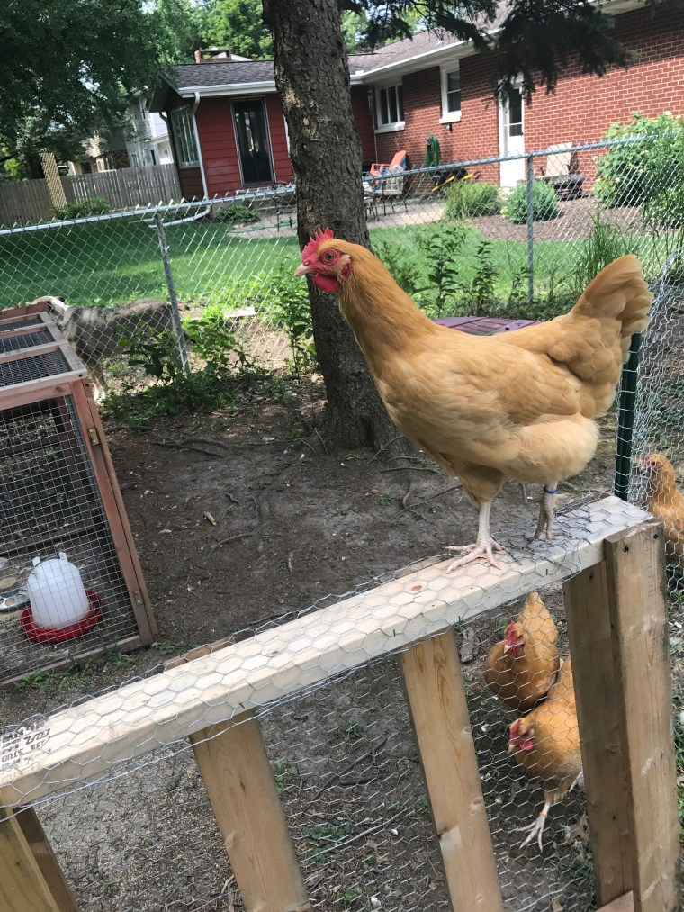 Help! My Chickens Got Out! | The Backyard Homesteaders