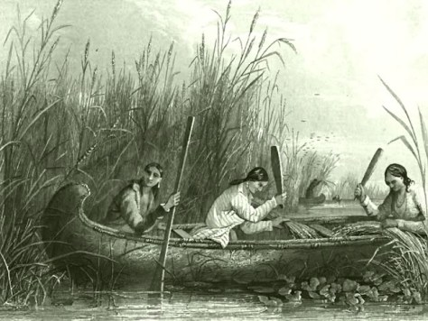 Native American Women Seen Harvesting Wild Rice From A Canoe Antique Etching