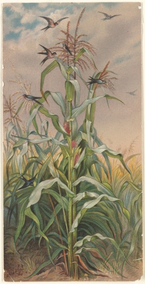 Among_the_Indian_Corn_(Boston_Public_Library)