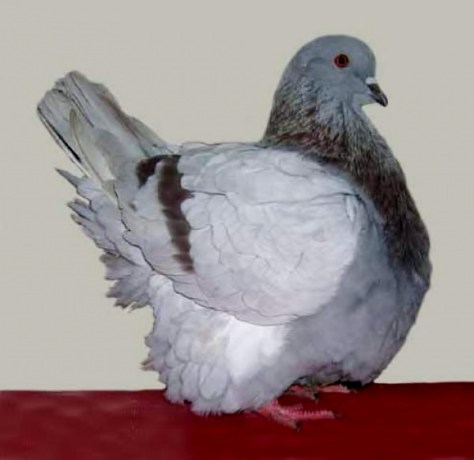 french mondaine utility pigeon squabs squabbing backyard meat production squab farming