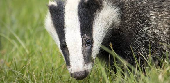 National Badger Day: 10 fun facts you might not have known