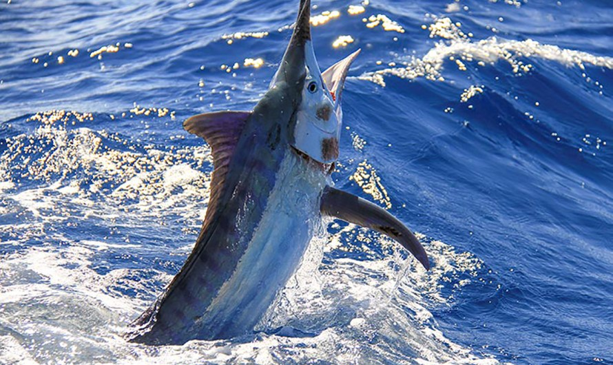 Los Cabos offshore marlin tournament a sucess among the COVID19 crisis with 1 million dollars in prizes