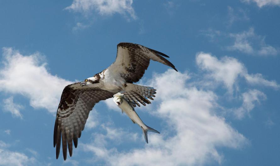 Instala UABC plataformas de anidación para Águilas Pescadoras en Zona Costa de Baja California