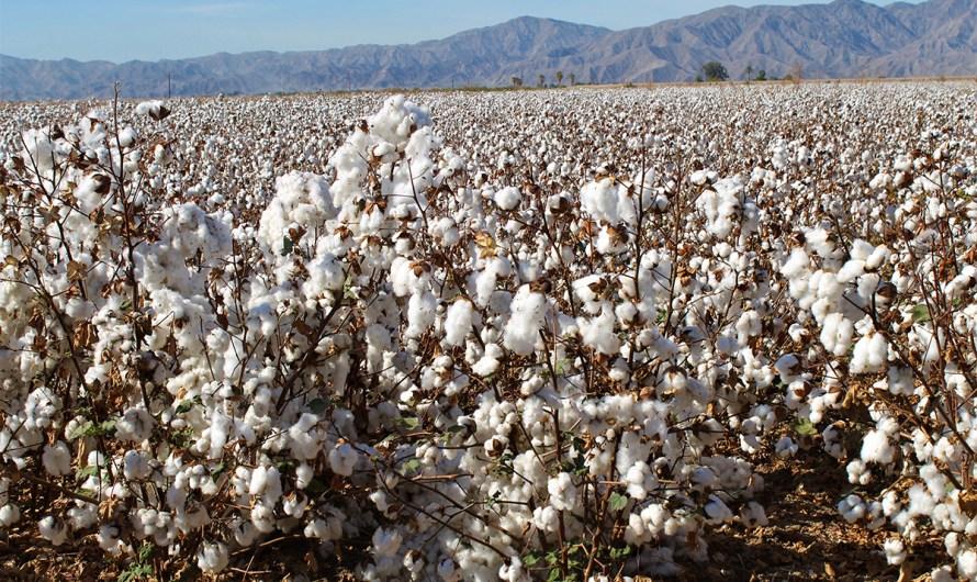 El 10 de Abril termina el plazo para sembrar algodón, informa la SADER de Baja California