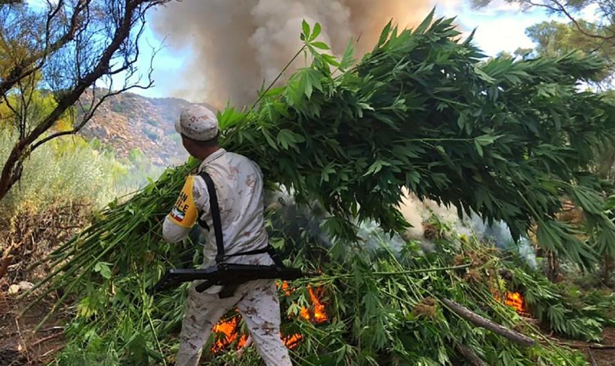 SEDENA Asegura y destruye 7 plantíos de mariguana de 14 mil metros cuadrados: Mesa de Seguridad de BC