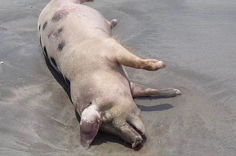 Pigs Ending Up On Canggu and Seminyak Beaches After Dying From Mysterious Disease