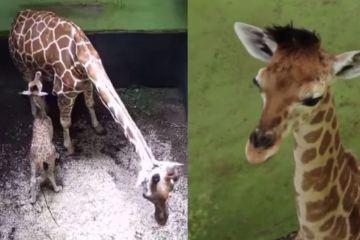 Bali Safari Park welcomes newborn baby giraffe named 'Corona'
