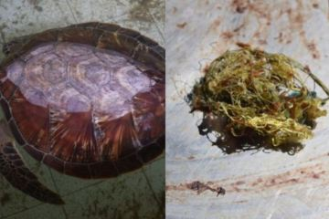Sea Turtle Had Stomach Full of Plastic That Washed Up On Bali Beach
