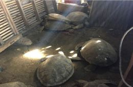 Bali Local Arrested For Selling Sea Turtle Meat