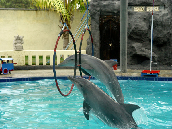 dolphin jumping through hoops in bali