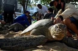 Bali Sea Turtles Set Free After Poachers Arrested
