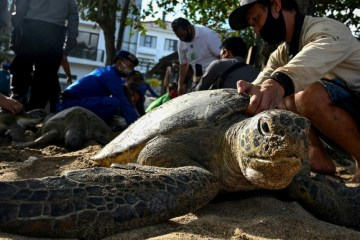 Bali Sea Turtles Set Free After Poachers Arrested