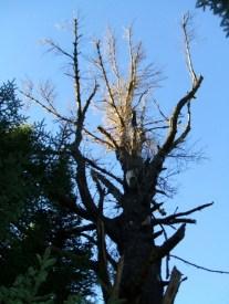 20120927 Xmas Loop Big Dead Pine