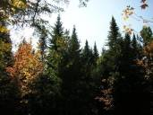 phs1 Balsamea Autumn Treetops 20051006