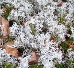 Cladonia 4 rangiferina lichen