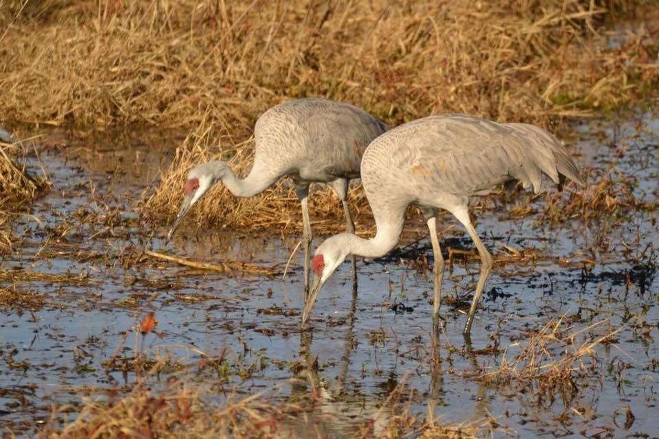 Cranes At Wheeler National Wildlife Refuge