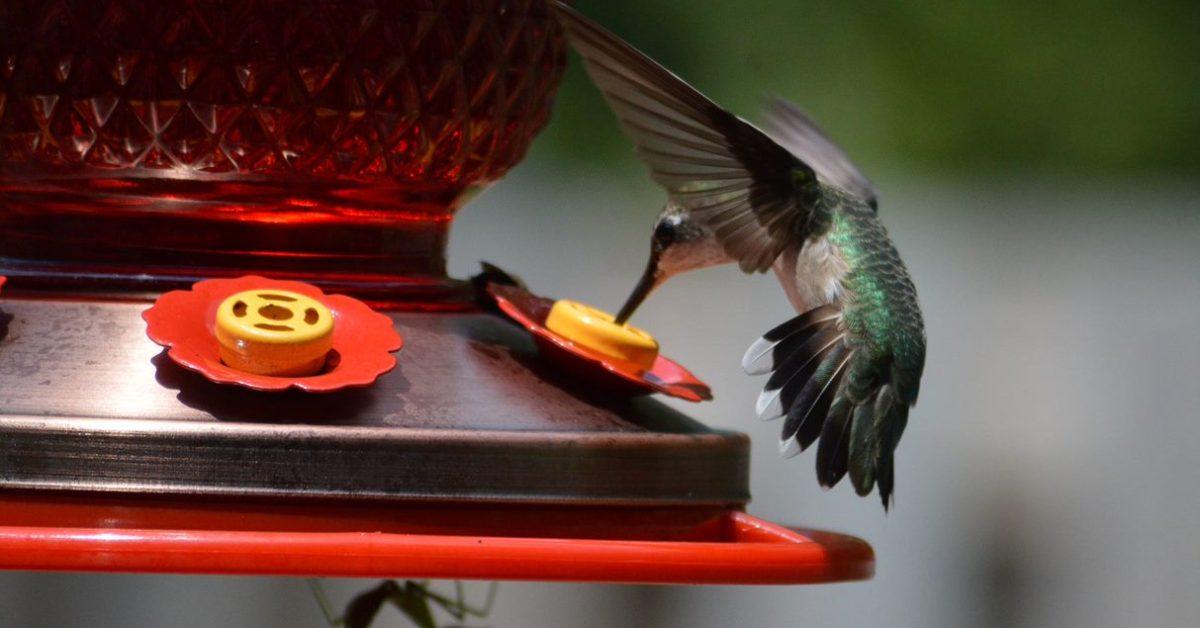 Hummingbird Drinks From The Hummingbird Feeder