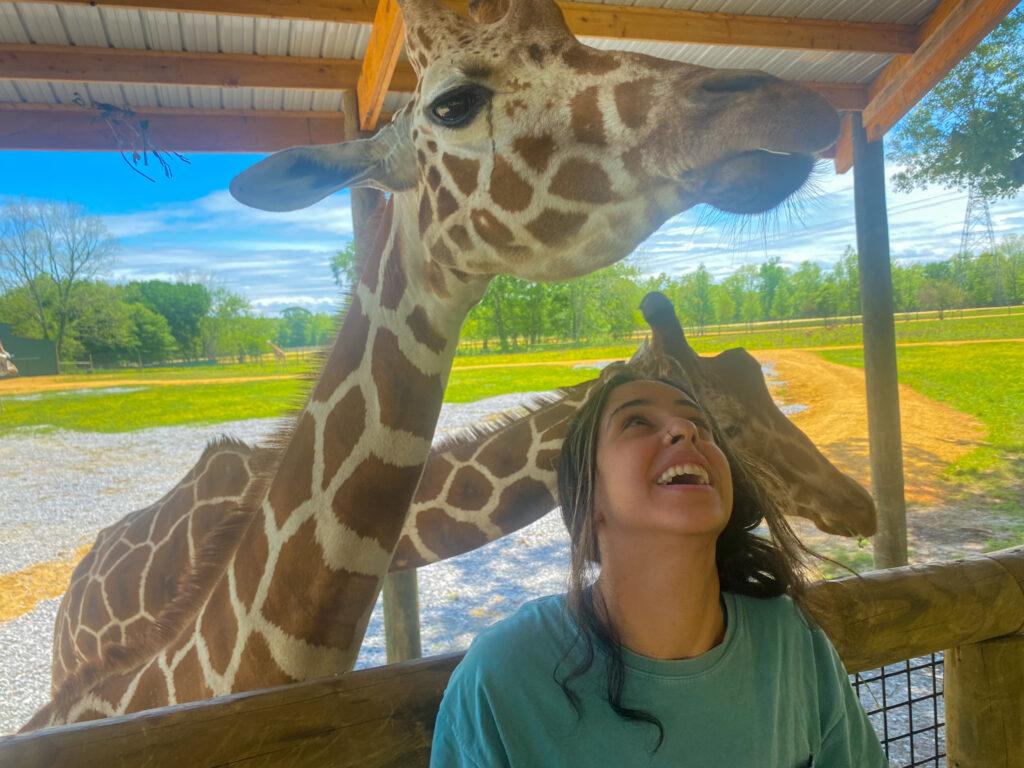 Giraffes At The Alabama Safari Park
