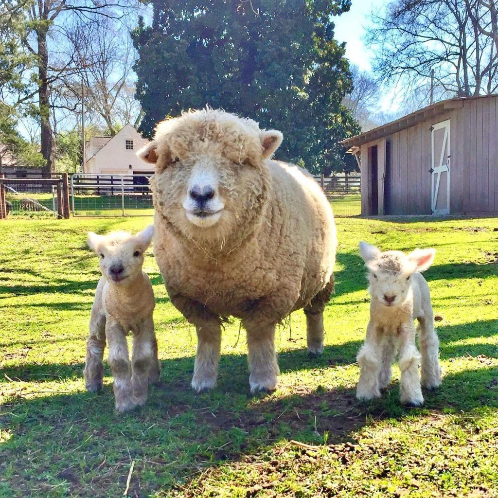 1818 Farms Sheep