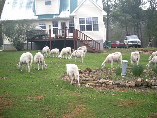 Crosscreek Farm Sheep