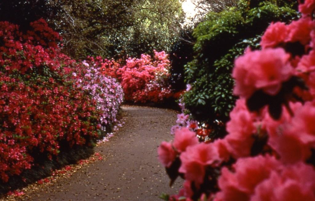Azalea Pathway At Bellingrath Gardens And Home
