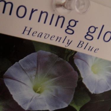 morningglory.jpg