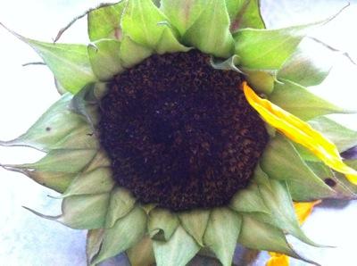 Sunflowerdying1
