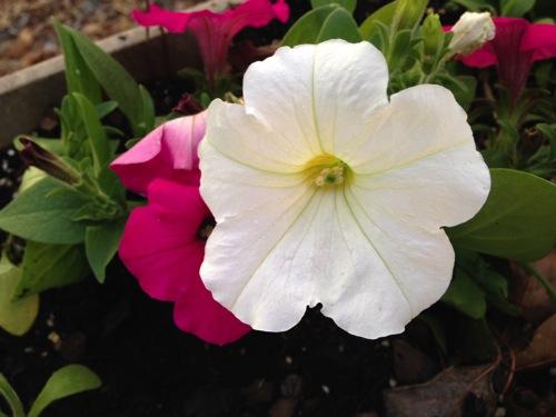 Petunias1