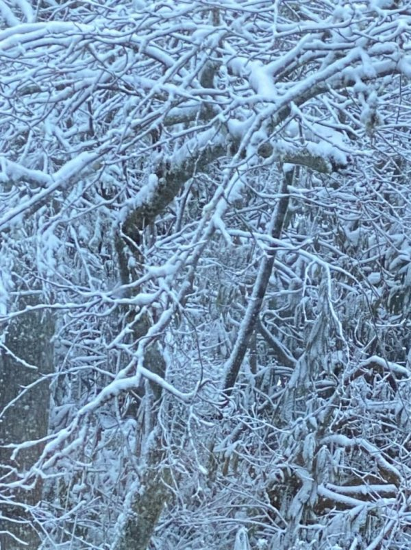 snow covered trees and branches