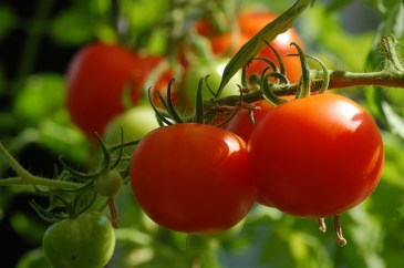 Picture of garden fresh vegetables on the vine