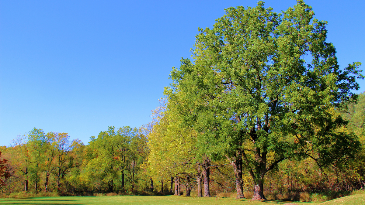 Image of oak trees