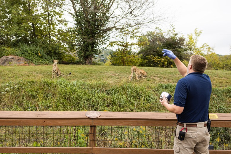 Josh Murray tends to cheetahs at their wildlife exhibit at the Kansas City Zoo. The zoo received $4.6 million from the Shuttered Venue Operators Grant.