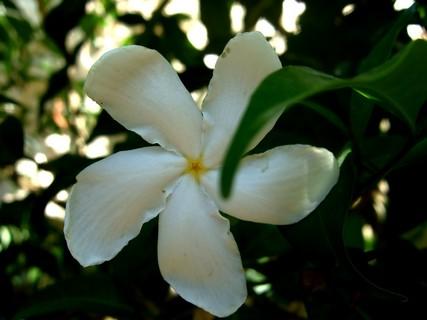 not-coffee-flower.jpg