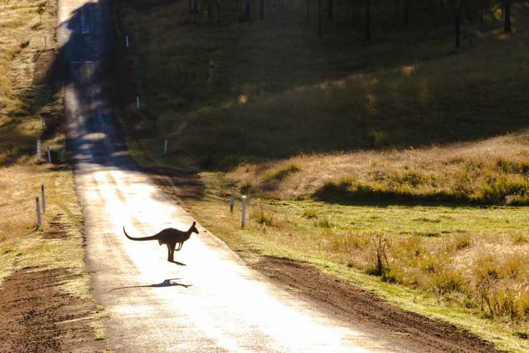 photo of a kangaroo on road