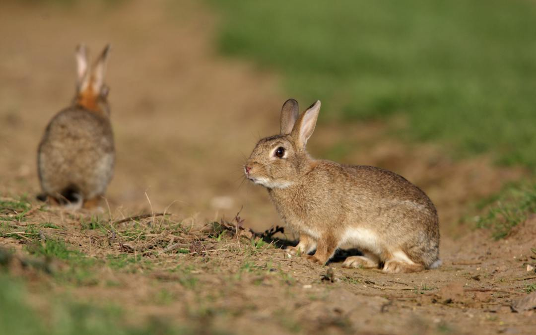 Don't underestimate rabbits: these powerful pests threaten more native wildlife than cats or foxes