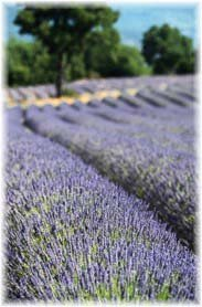 Picture of a field of lavender in bloom