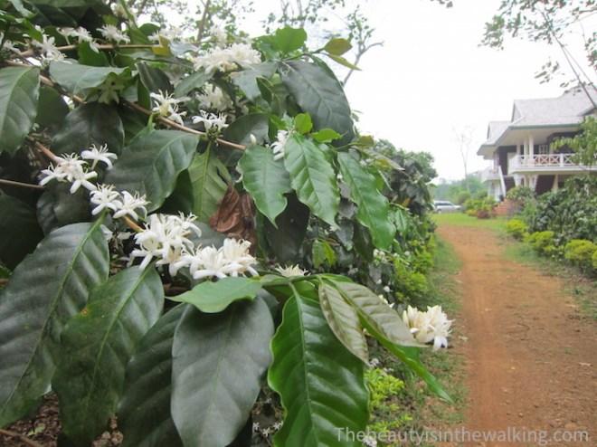 Plantation de café des Bolovens